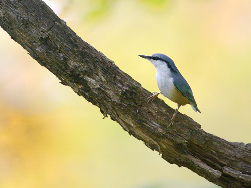 秋の小鳥たち(2)ゴジュウカラ_a0204089_19341893.jpg