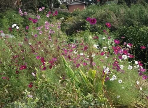菜園のコスモスが満開_b0137932_61287.jpg