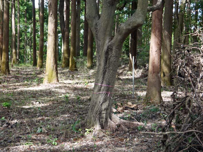 山桜、紅葉の植樹の準備整う:10・8六国見山臨時手入れ_c0014967_21594635.jpg