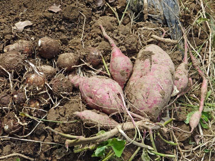 秋の味覚サツマイモ、サトイモを初収穫:10・7_c0014967_7102580.jpg