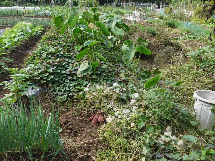 秋の味覚サツマイモ、サトイモを初収穫:10・7_c0014967_7104212.jpg