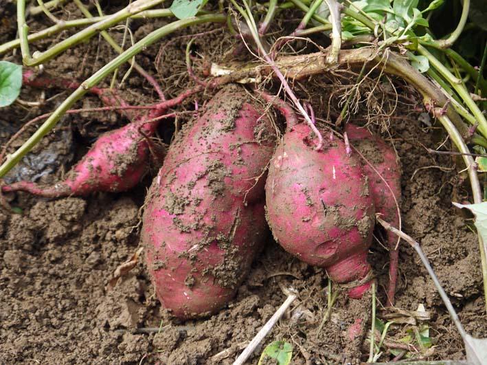 秋の味覚サツマイモ、サトイモを初収穫:10・7_c0014967_732019.jpg