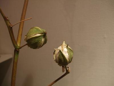 オークリーフ(咲いています)_f0049672_17265158.jpg