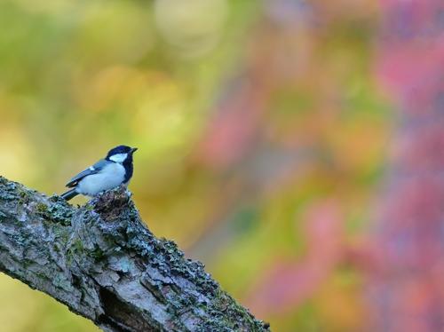 秋の小鳥たち(3)シジュウカラ/コガラ_a0204089_6391153.jpg