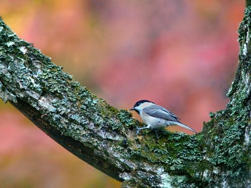 秋の小鳥たち(3)シジュウカラ/コガラ_a0204089_6391879.jpg