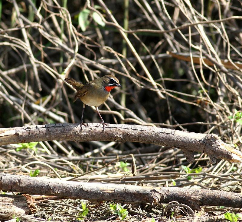 遠征後の初鳥見はノゴマ・・・_c0213607_2019152.jpg