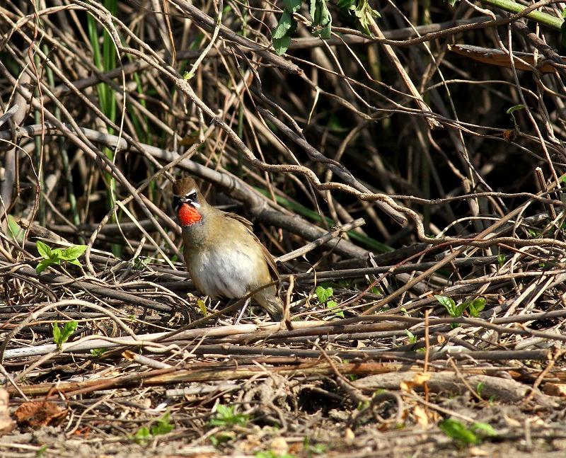 遠征後の初鳥見はノゴマ・・・_c0213607_20202935.jpg
