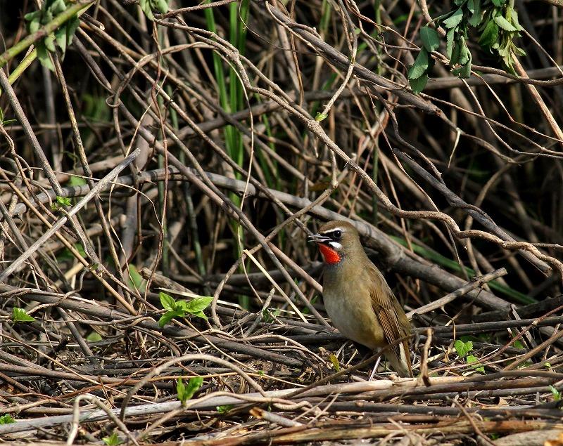 遠征後の初鳥見はノゴマ・・・_c0213607_20203521.jpg