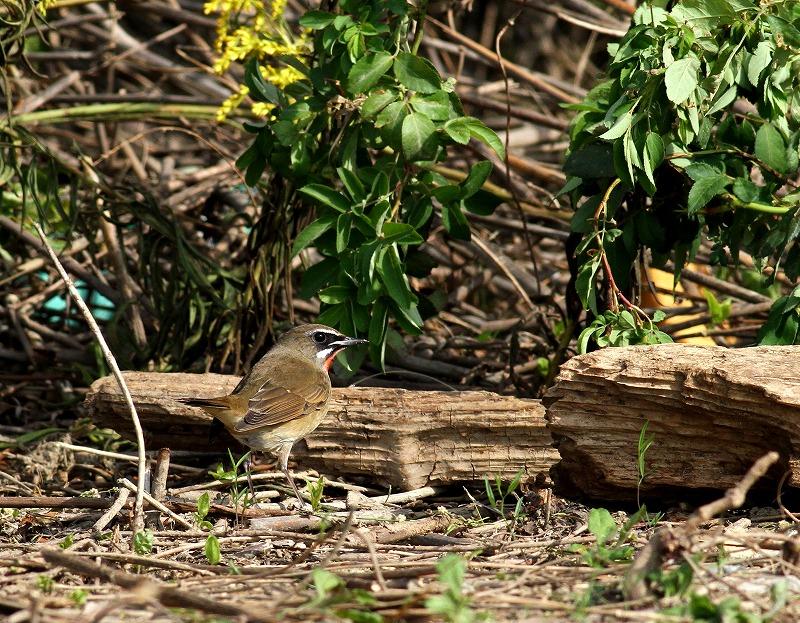 遠征後の初鳥見はノゴマ・・・_c0213607_20204054.jpg