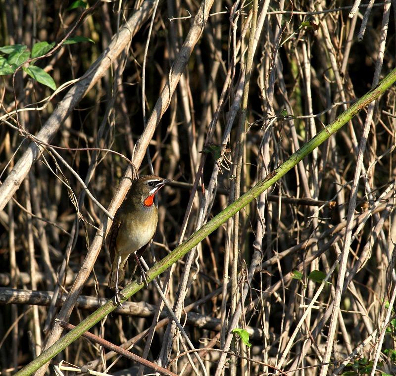 遠征後の初鳥見はノゴマ・・・_c0213607_20205142.jpg