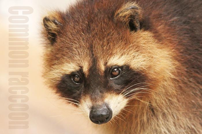 アライグマ:Common raccoon_b0249597_515793.jpg