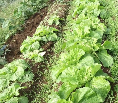 秋冬野菜...白菜、ブロッコリー_b0137932_21343831.jpg