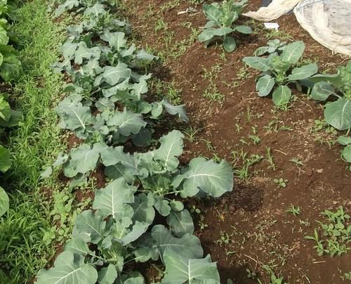 秋冬野菜...白菜、ブロッコリー_b0137932_2135317.jpg