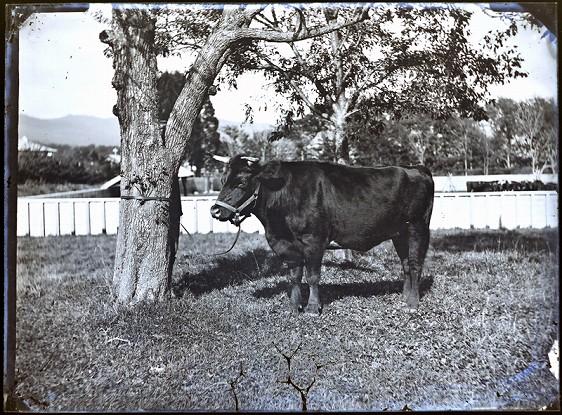 第2回アドベントカレンダー(17日目)「牛馬の写真-発見されたガラス原板-」_f0228071_1159574.jpg