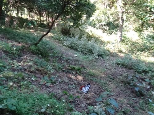 アサギマダラに遊んでもらった  in   孝子の森   by    (TATE-misaki)_c0108460_2218944.jpg