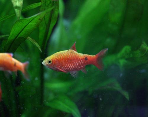 オススメの熱帯魚♪_c0165800_18571647.jpg
