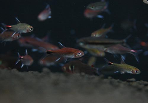 オススメの熱帯魚♪_c0165800_18575175.jpg
