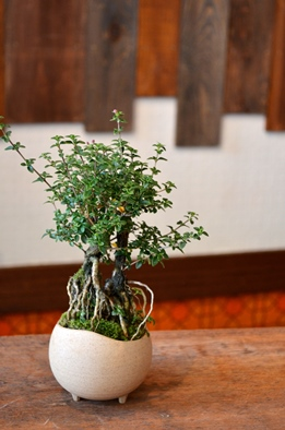 盆栽の新入荷のご案内_d0263815_1892255.jpg
