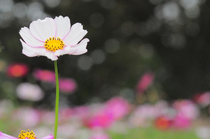 玉ボケがテーマの秋桜子_c0001744_19134570.jpg
