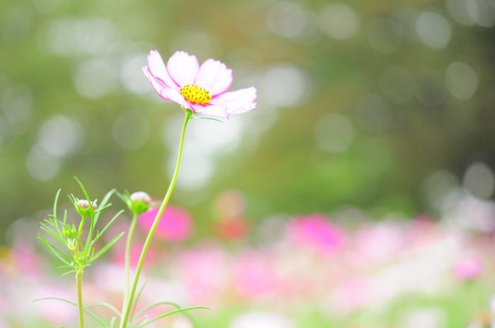 玉ボケがテーマの秋桜子_c0001744_1934351.jpg