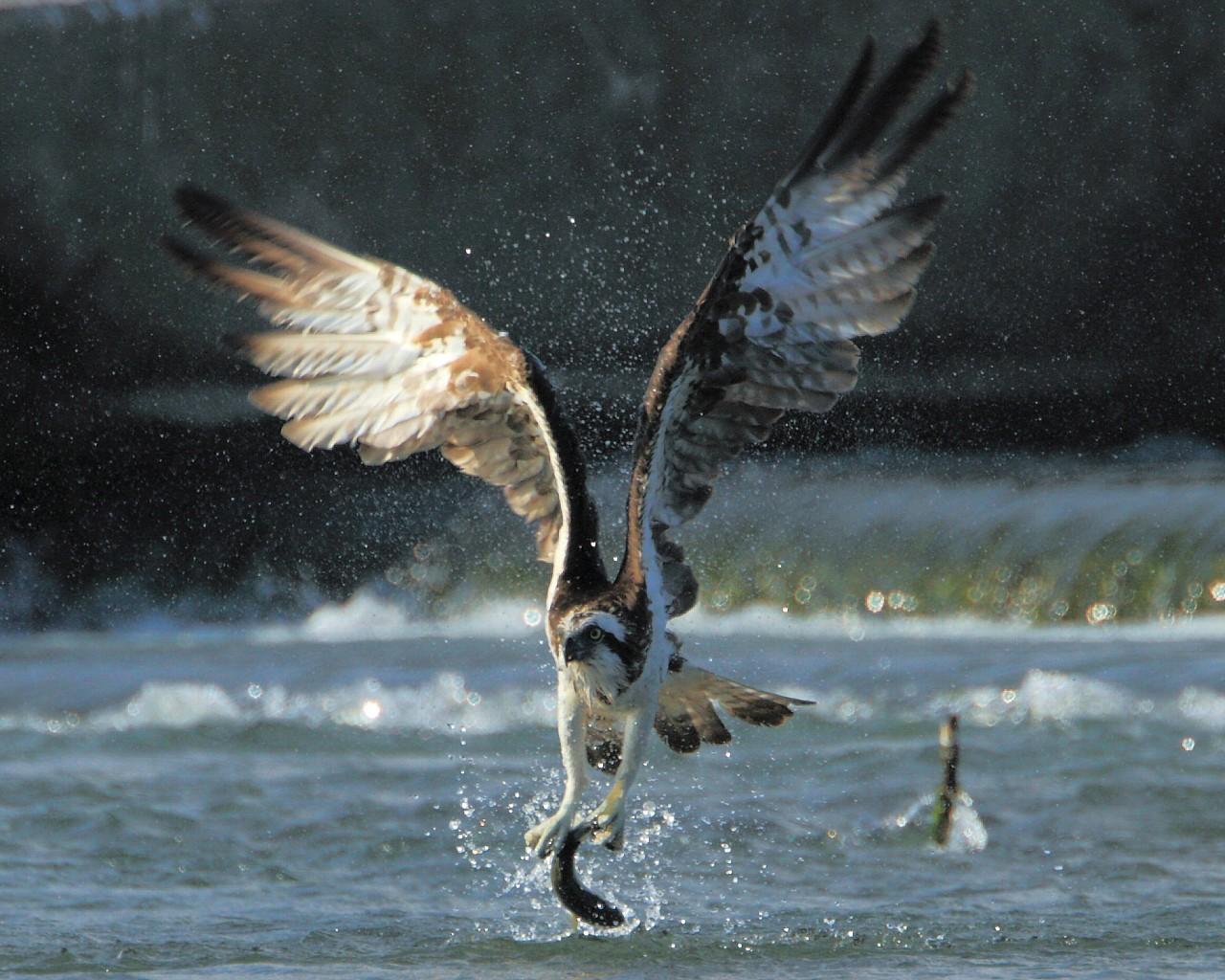 相模川のミサゴが大きなボラを捕まえた!_f0105570_21145835.jpg