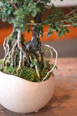 盆栽の新入荷のご案内_d0263815_1262597.jpg