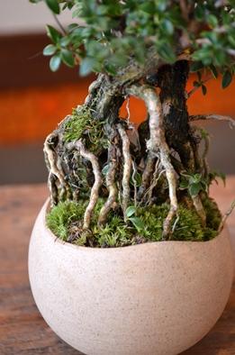 盆栽の新入荷のご案内_d0263815_126837.jpg