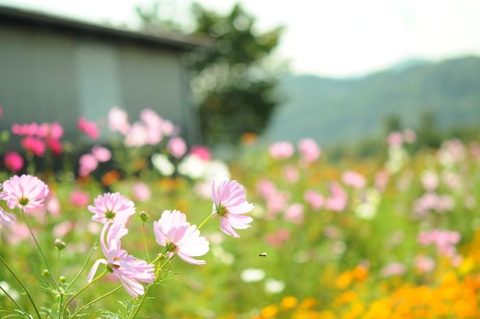 透明感のある秋桜_c0001744_15113530.jpg