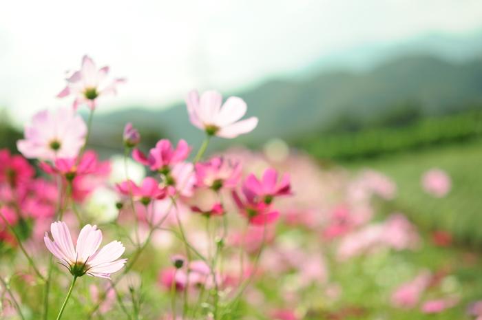 透明感のある秋桜_c0001744_15114776.jpg