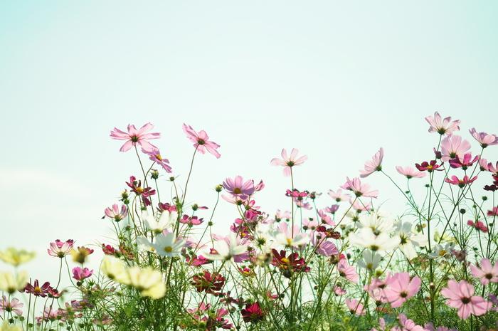 透明感のある秋桜_c0001744_15254680.jpg