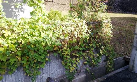緑のカーテン ~『キワーノ』収穫~_f0163105_16313285.jpg