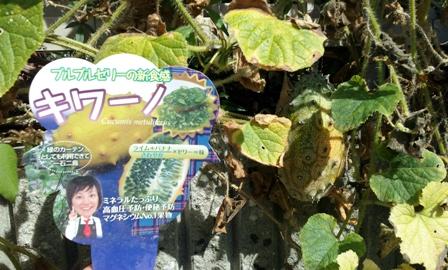 緑のカーテン ~『キワーノ』収穫~_f0163105_16314177.jpg