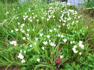 白い野の花_f0059988_17453096.jpg