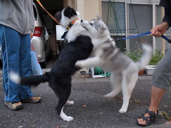 子犬 朝のあいさつ(10月14日朝)_c0049299_846267.jpg