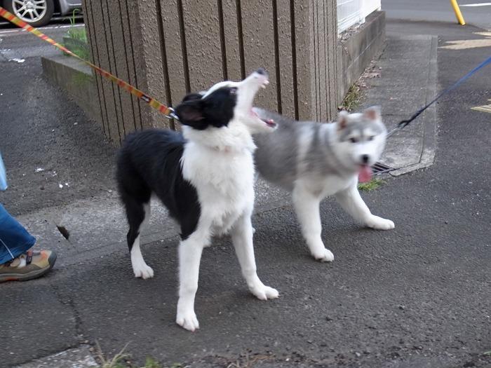 子犬 朝のあいさつ(10月14日朝)_c0049299_8552430.jpg