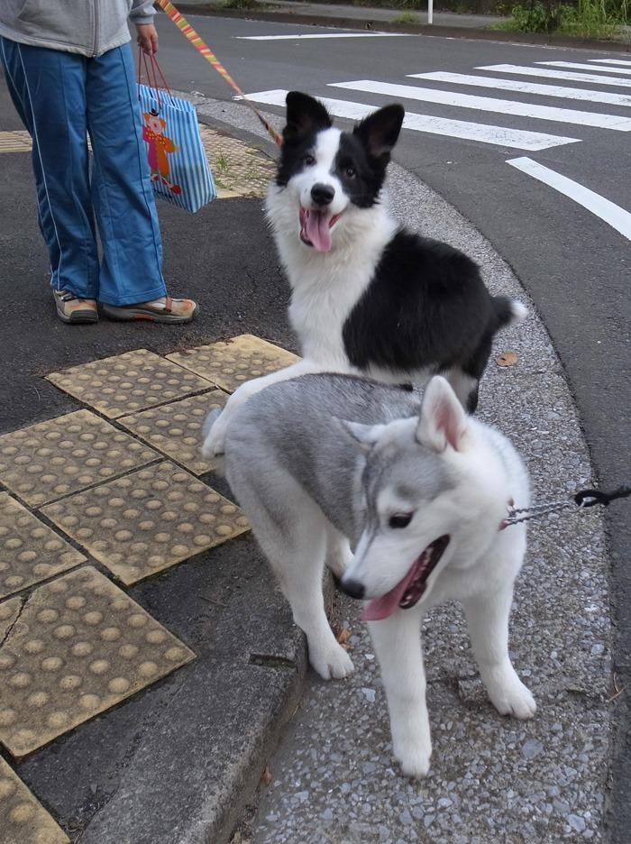 子犬 朝のあいさつ(10月14日朝)_c0049299_855496.jpg