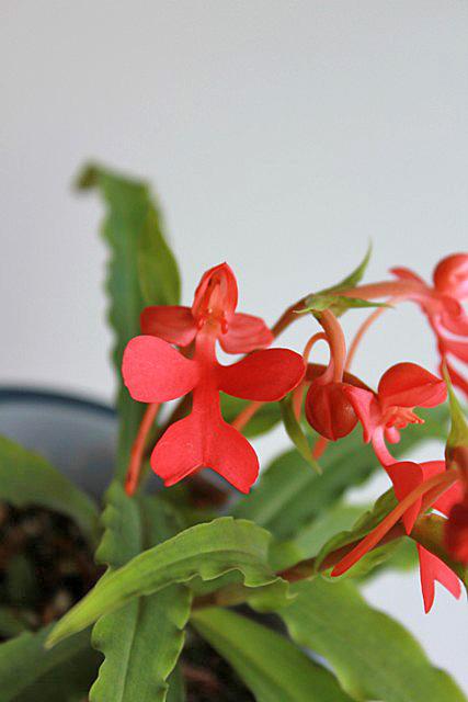 冷たい雨の中;Habenaria rhodocheila red_d0007501_8532360.jpg