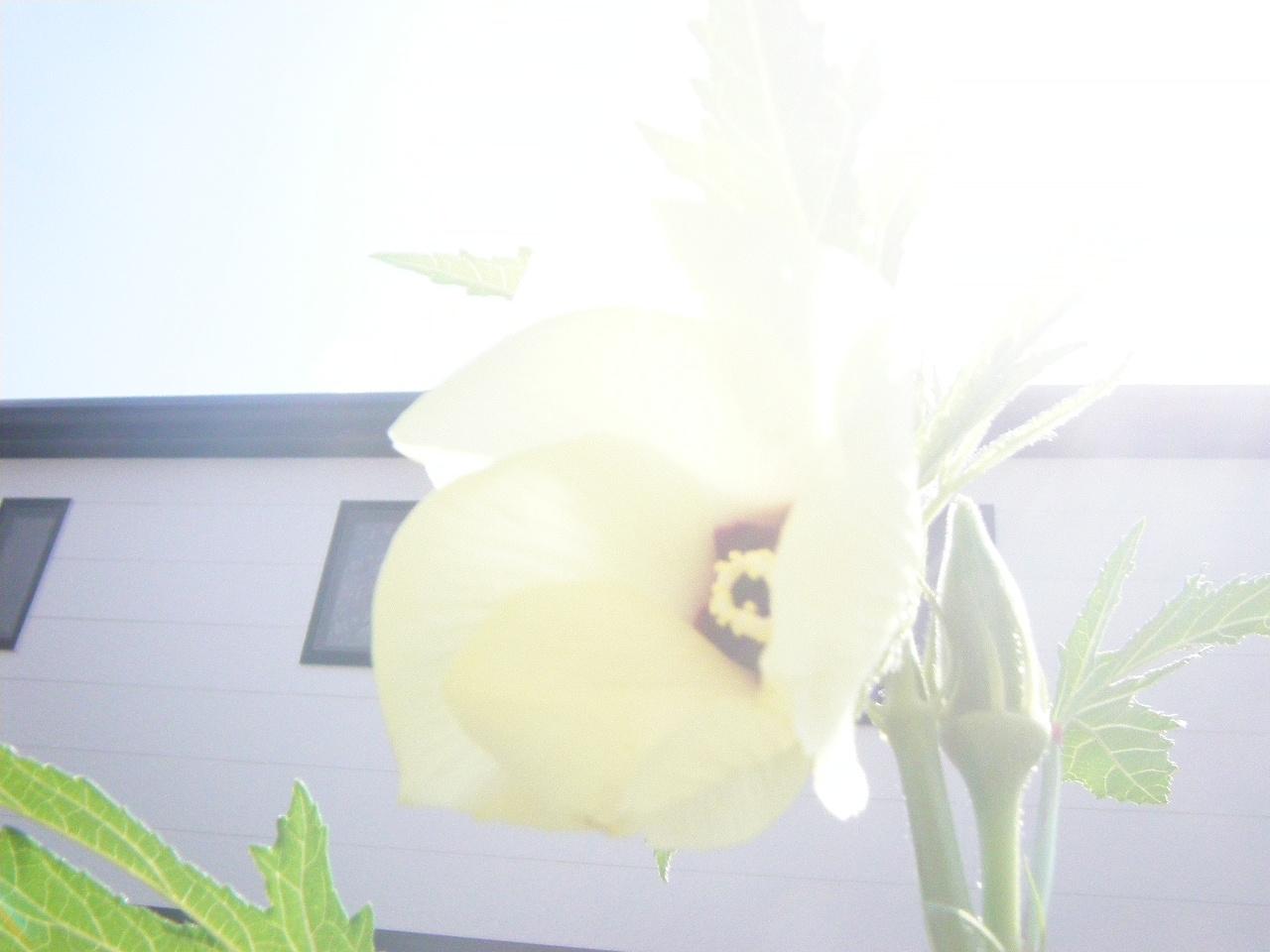 オクラの花_e0194553_12371545.jpg