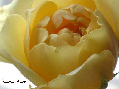 バラ「ジャンヌダルク」&おもしろ実ものでセラピーレッスン☆_c0098807_2017351.jpg