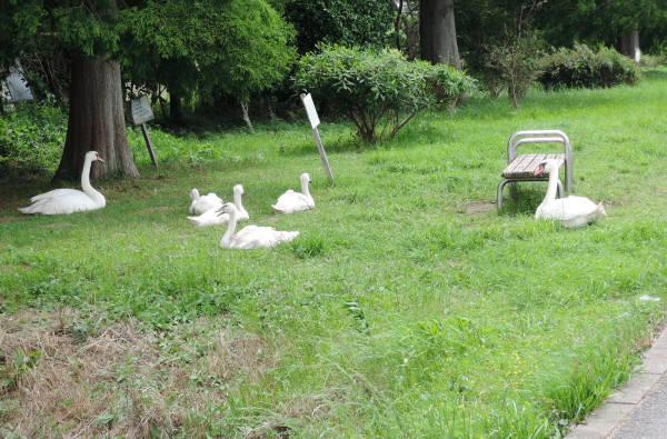 手賀沼に棲む水鳥たち 2_e0200879_7584537.jpg