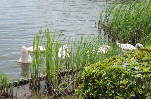 手賀沼に棲む水鳥たち 2_e0200879_821566.jpg