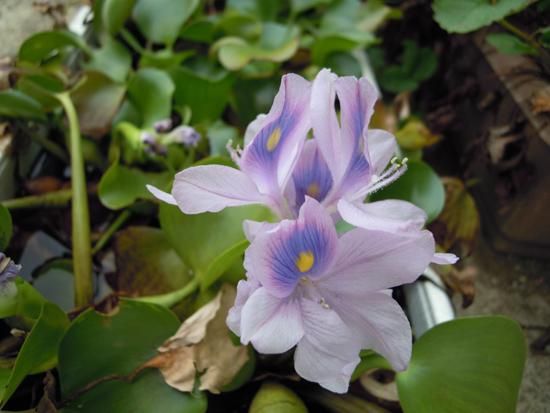 今年最後のホテイアオイの花かな_e0097534_14544163.jpg