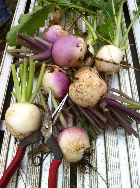 冬野菜達 どんどん大きくなります_c0222448_164187.jpg