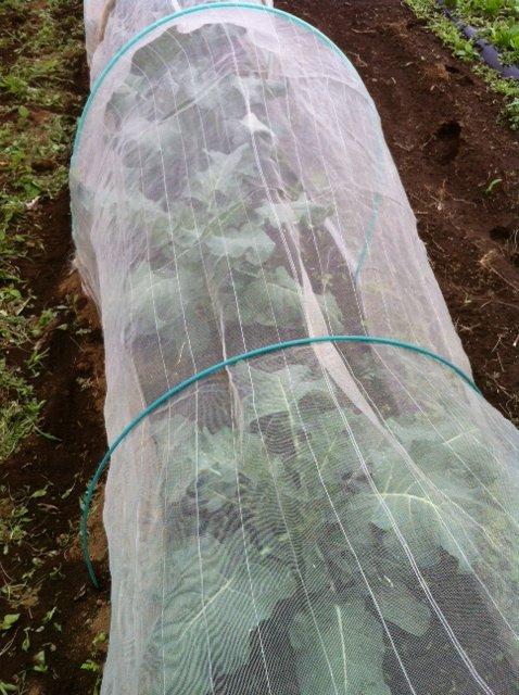 冬野菜達 どんどん大きくなります_c0222448_1643777.jpg