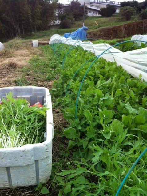 冬野菜達 どんどん大きくなります_c0222448_1645447.jpg