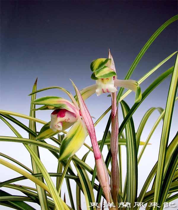 日本春蘭「菊翆」                    No.1331_d0103457_1351251.jpg
