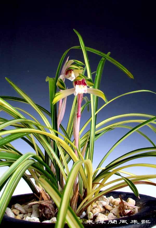日本春蘭「菊翆」                    No.1331_d0103457_135376.jpg