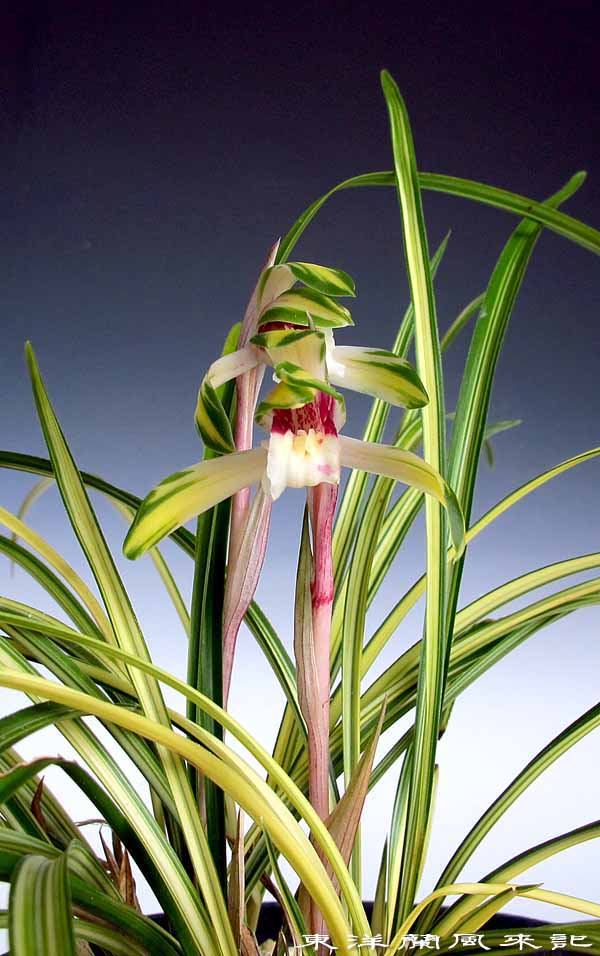 日本春蘭「菊翆」                    No.1331_d0103457_1373330.jpg