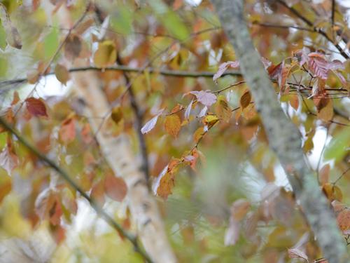 秋の小鳥たち(4)ルリビタキ幼鳥_a0204089_15201342.jpg