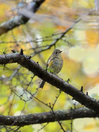 秋の小鳥たち(4)ルリビタキ幼鳥_a0204089_1520551.jpg